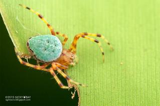 Orb weaver spider (Eriophora sp.) - DSC_9319