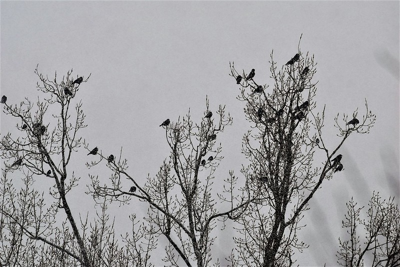 Crows in snow 10.01 (2)