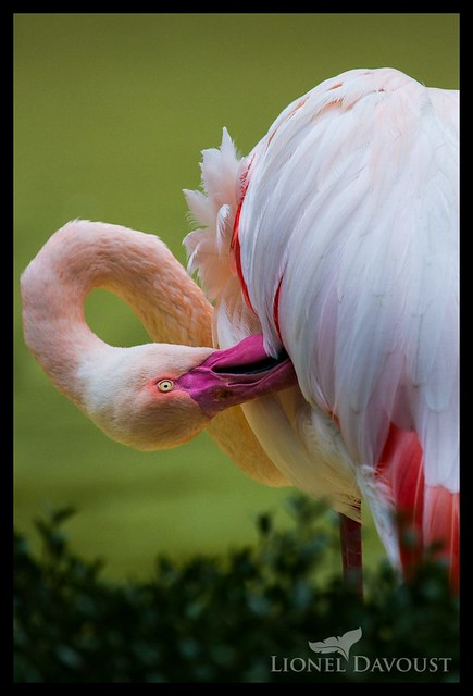 Grooming flamingo