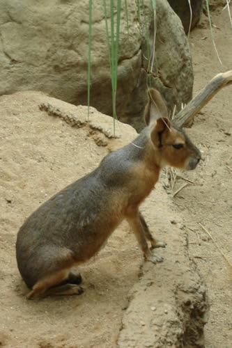 Cute Long Legged Rabbit like animal | Mark Winters | Flickr