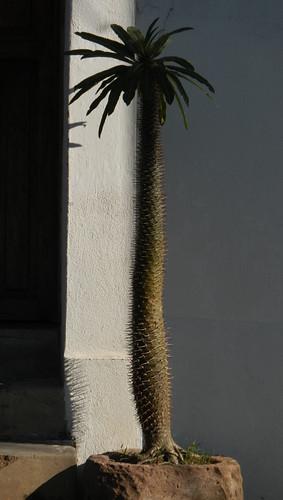 Cactus tree in Puerto Vallarta, Mexico