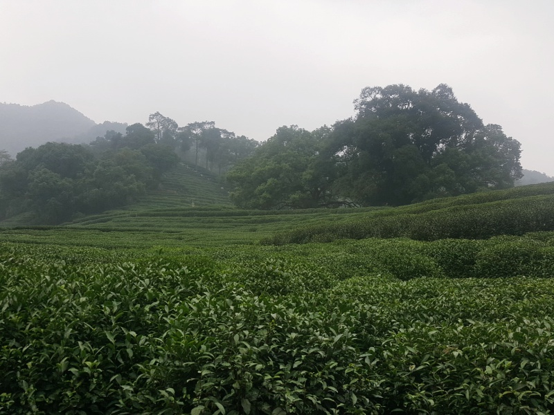 Lonjing Tea Plantation