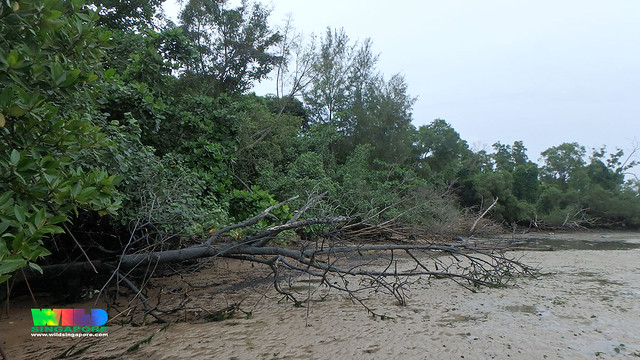Fallen tree at Chek Jawa