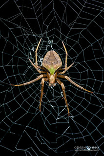 Orb weaver spider (Acacesia sp.) - DSC_9559