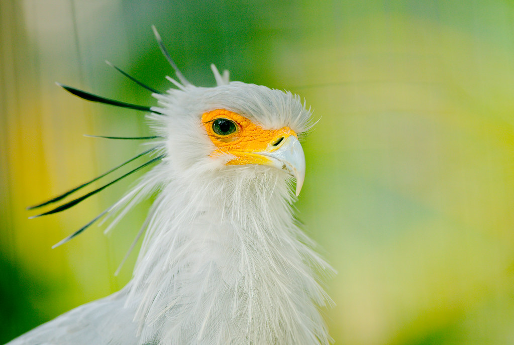 Secretary Bird (Sagittarius serpentarius)_9