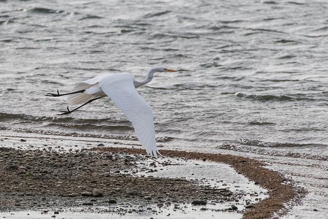 great white egret 077__312