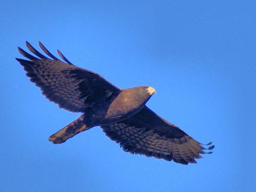 Short-tailed Hawk 03-20161231