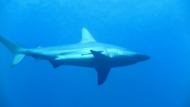 Carcharhinus limbatus at Manza Beach Okinawa