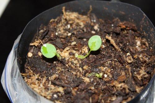 anth_pallidiflorum_seedlings_20110423
