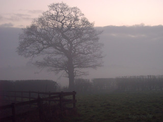 tree in mist | by hedgerowmobile