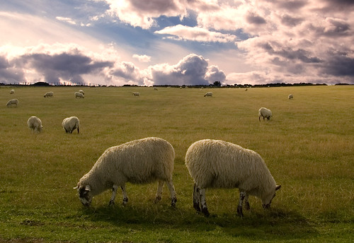 Sheep in symmetry | by Urban Disturbance