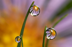 Michaelmas daisy dewdrop refraction #4 | by Lord V