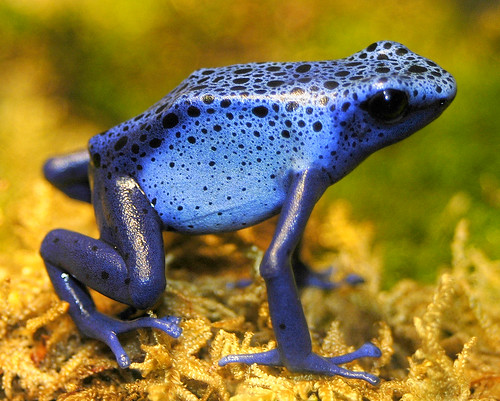 Poison Dart Frog of the blue variety | by ucumari photography