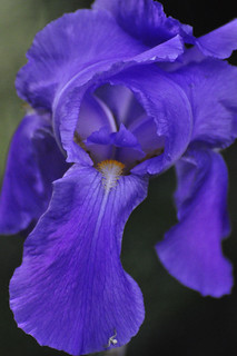 Close-up Blue Iris | by misst.shs