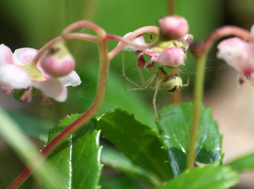 Spider on pipsissewa, Chimaphila umbellata