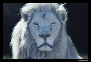 The White Lion | by Jackson Carvalho