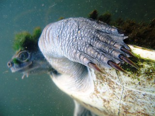 Mary River Turtle 8 | by chrisvanwyksadventures