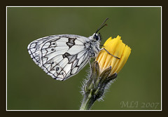 Marbled White Butterfly | by Mia Lewis Images
