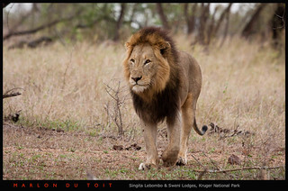 Mountain Pride male 3 | by Singita Game Reserves