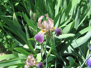 Old Fashion Iris | by AngusNY