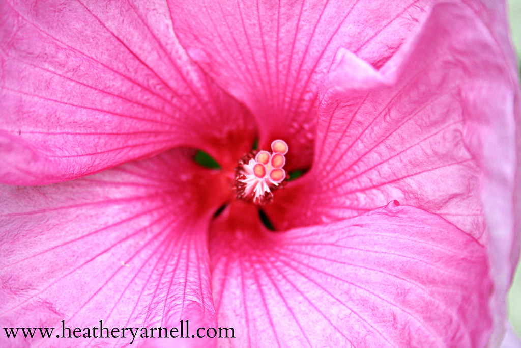 Pink Hibiscus Flower Close-Up