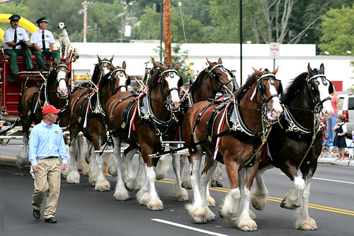 Budweiser Clydesdale horses | by Serrator