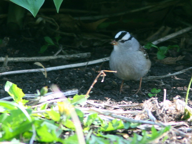 White-crowned Sparrow with white lores 20100510