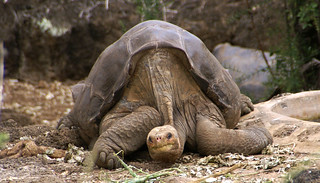 Lonesome George Pinta giant tortoise Santa Cruz | by putneymark