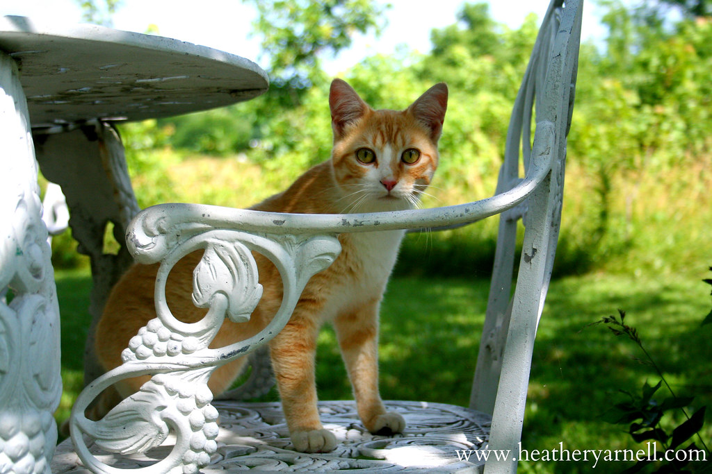 Cat on Patio Chair