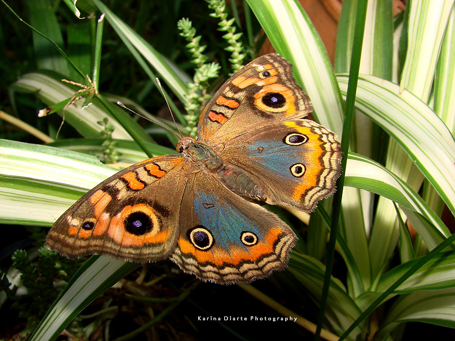 Mariposa Pavo Real / Tropical Buckeye