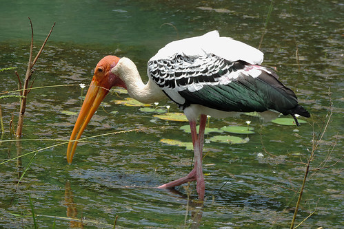 Yala -  Bold Headed Painted Stork