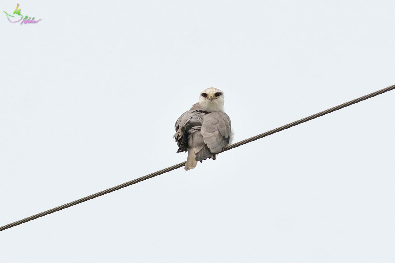 Black-shouldered_Kite_3830