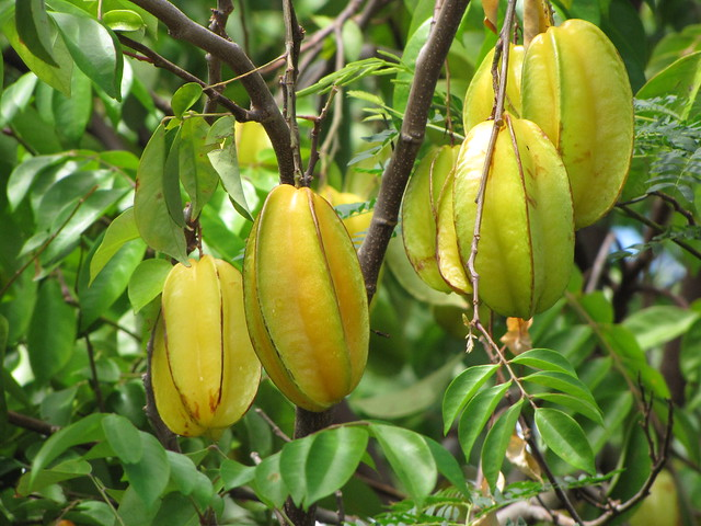 starr-090819-4657-Averrhoa_carambola-fruit_and_leaves-Maui_Meadows_Kihei-Maui