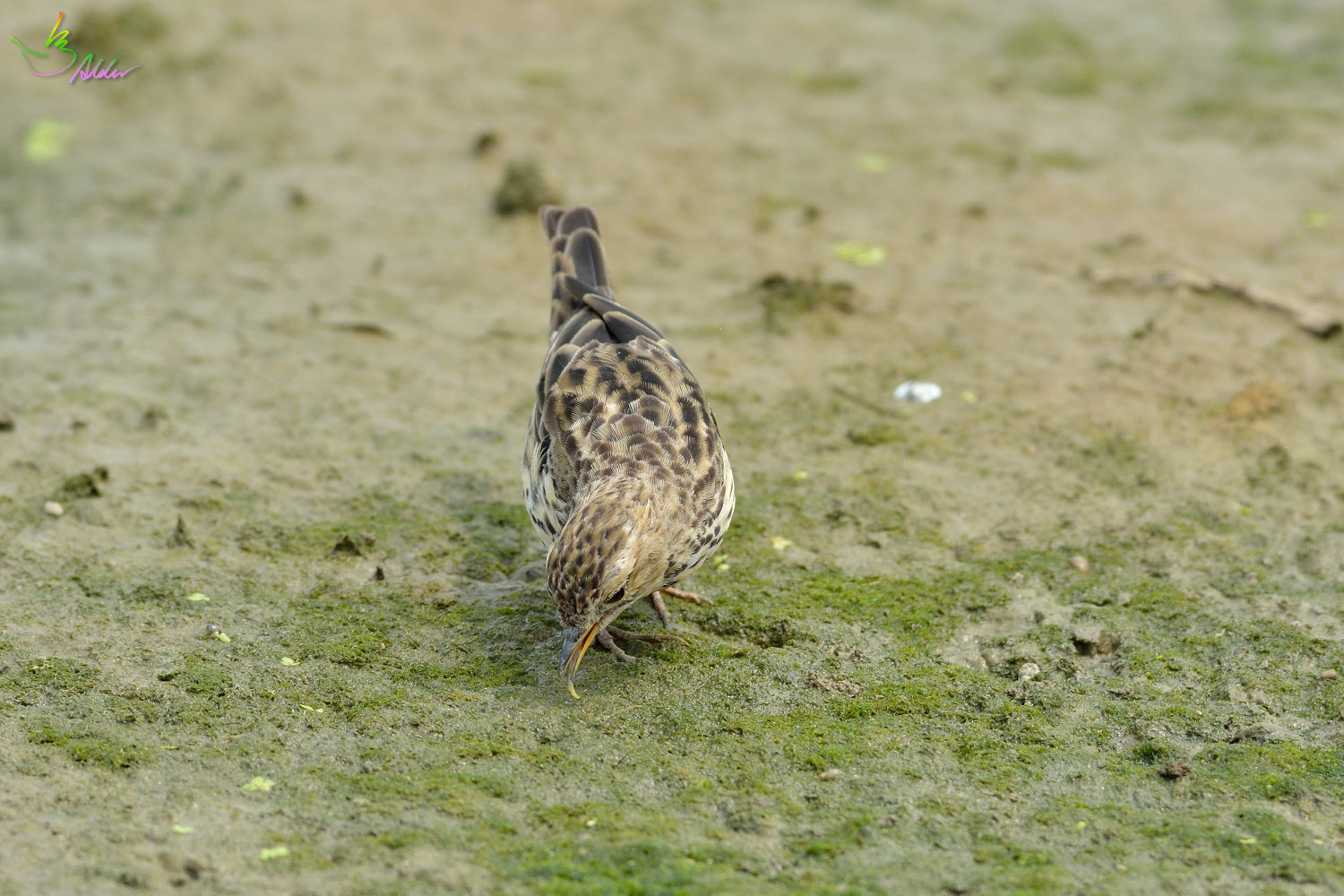 Red-throated_Pipit_3706