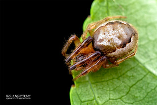 Orb weaver spider (Zygiella sp.) - DSC_1625