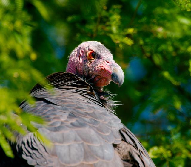 California Condor (Gymnogyps californianus)_33