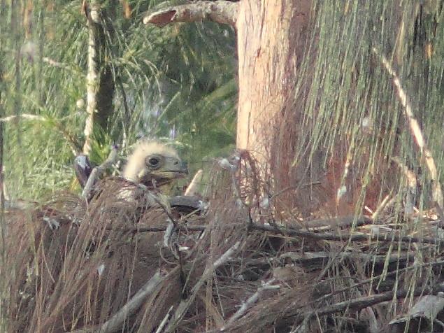 Bald Eagle eaglet 20160402