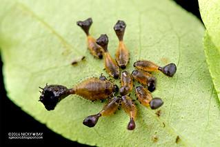 Curry leaf tortoise beetle larvae (Silana farinosa) - DSC_9431