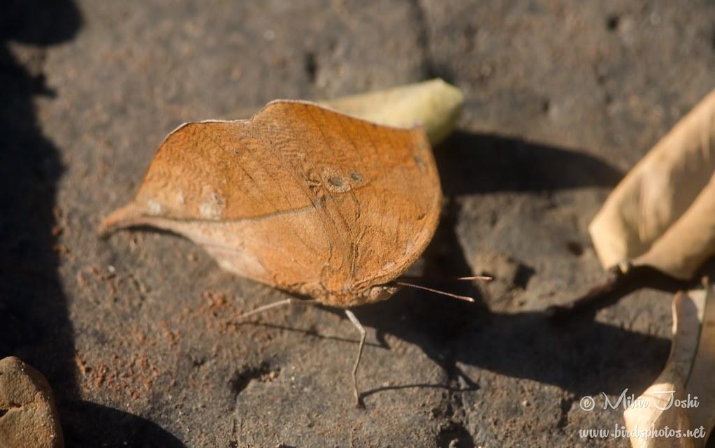 Blue Oakleaf [Dry Season Form]