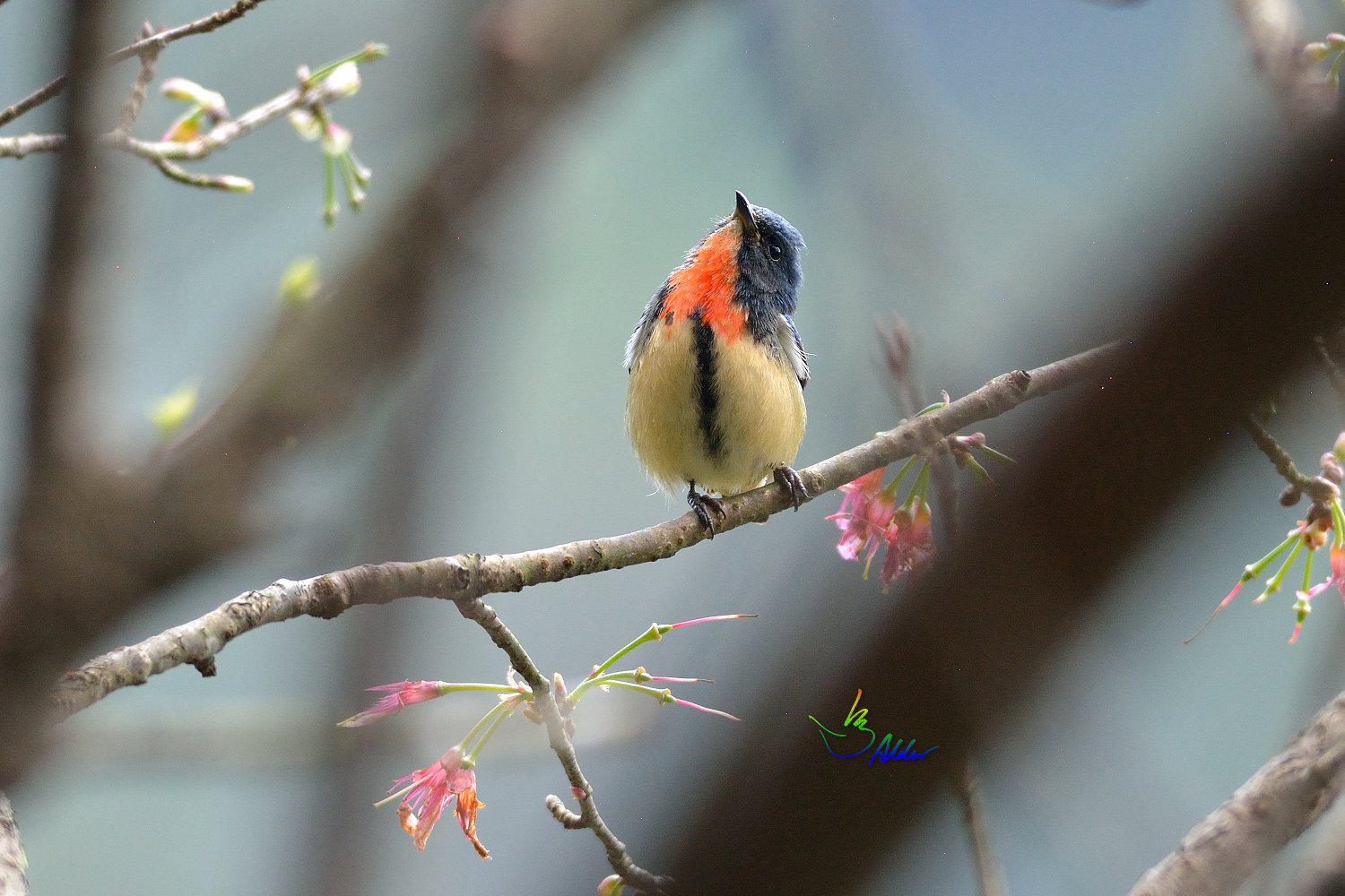 Fire-breasted_Flowerpecker_1622