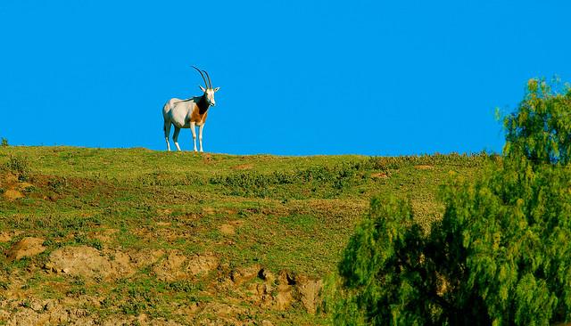 Scimitar-horned Oryx (Oryx dammah)_2