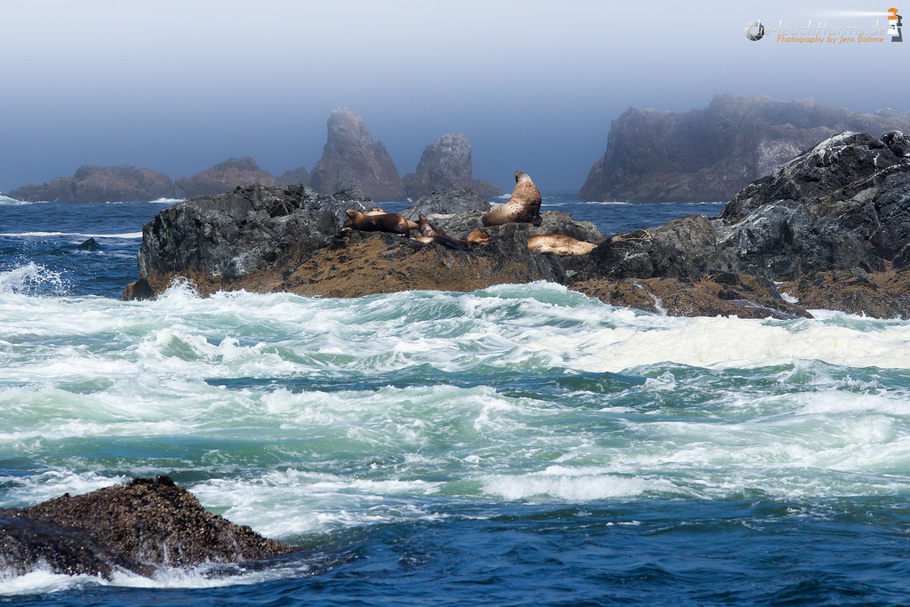 Steller sea lion on the Broken group