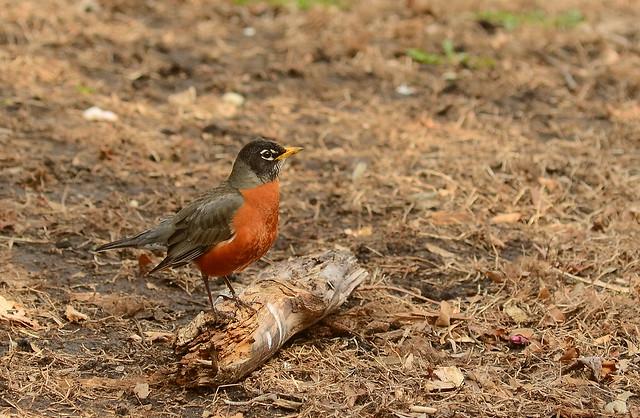 Posing Robin
