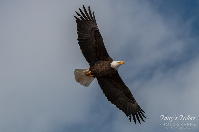 A Bald Eagle takes flight on a cold winter's day in northeastern Colorado.  (© Tony's Takes)