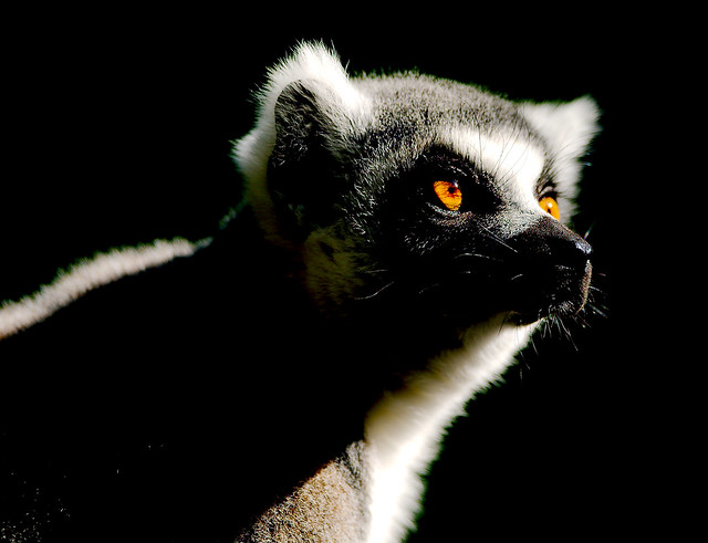 Ring-tailed Lemur (Lemur catta)_11