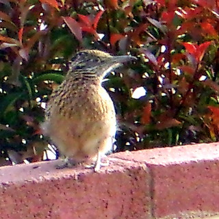 Roadrunner on wall - helping me field-test my new Pixpro camera (040516 CropTuned)