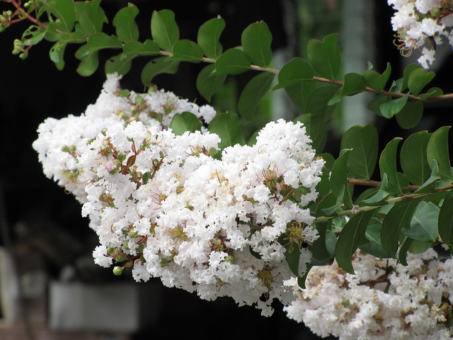 starr-090623-1683-Lagerstroemia_indica-white_flowers_and_leaves-Hana-Maui