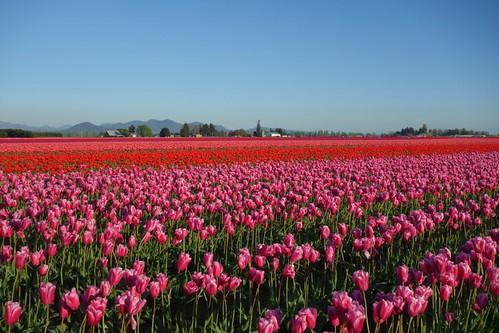 Tulip Field Mount Vernon Wa Flickr Photo Sharing