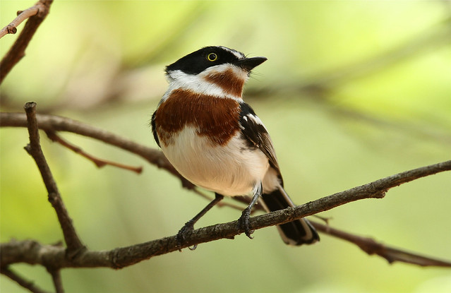 Batis molitor ♀ (Chinspot Batis)