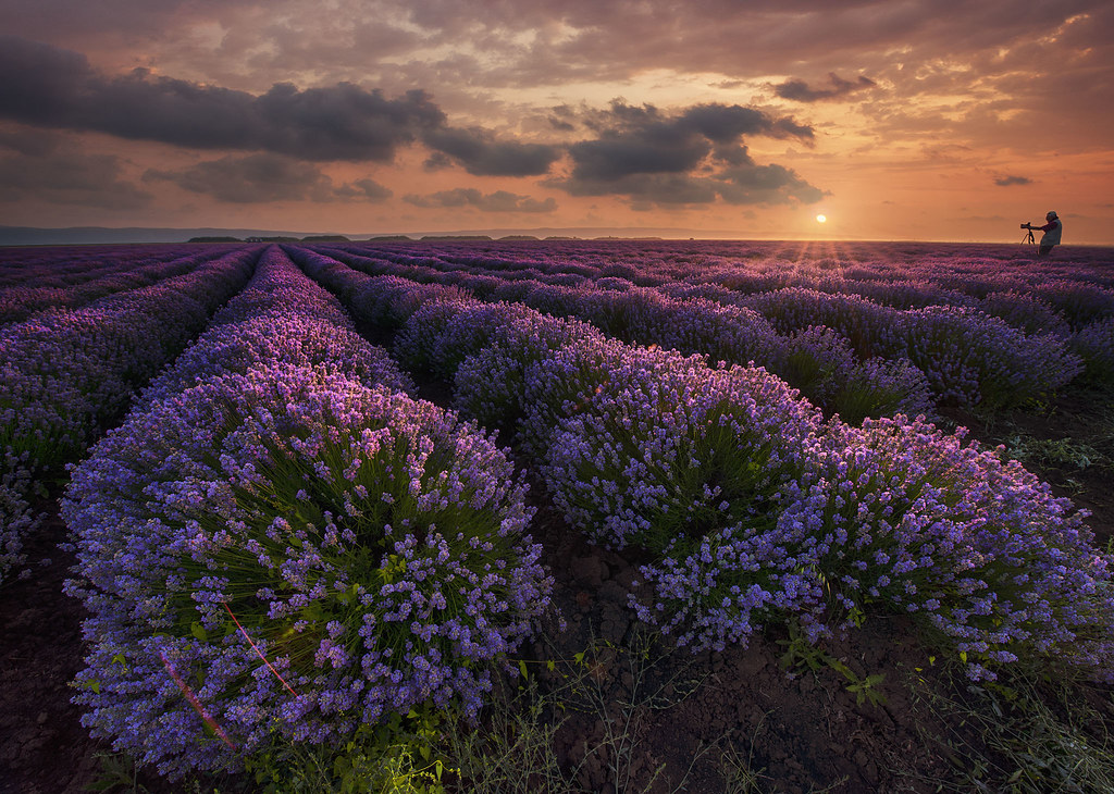 Lavender in Bulgaria